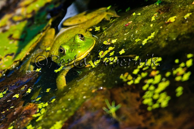 Rana Clamitans or Green Frog
