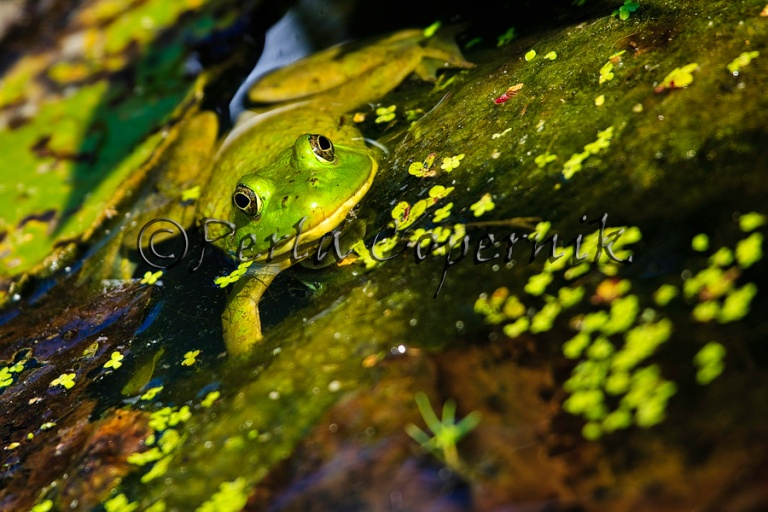 Rana Clamitans or Green Frog