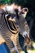 Gravy Zebra at the Smithsonian National Zoo. Gravy zebras are very endangered