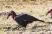 Southern Ground Hornbill, a massive-billed, turkey sized terrestrial bird. Endemic to Africa