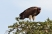 Lappet-Faced Vulture. This is a massive bird, the biggest of all the African vultures