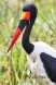 Saddled-Billed Stork, the most spectacular of all storks and very difficul to see in the wild.