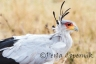 Secreatrybird, raptor, African Birds, Masai Mara