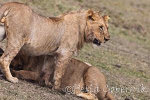 Young Lions, Marsh Pride, Masai Mara Kenya