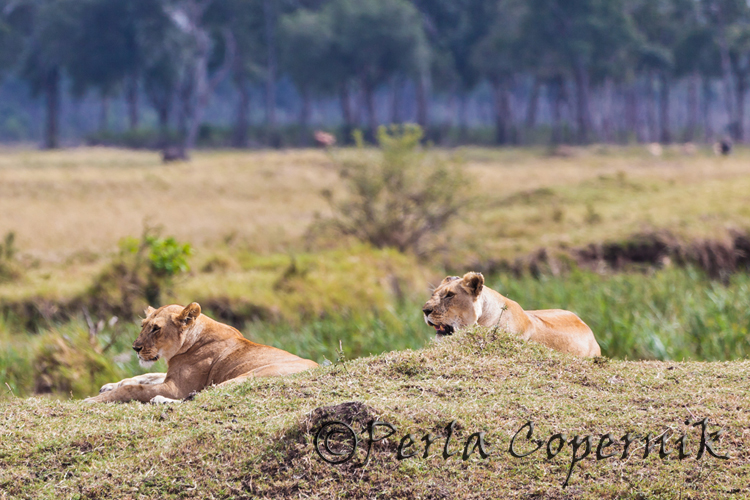 Lionesses of the Marsh Pride