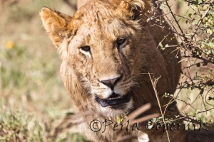 Lion from the Marsh Pride in the Masai Mara Park Reserve Kenya