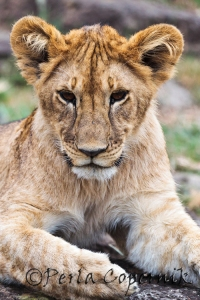 Lion Cub, North Conservancy River Pride