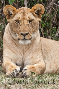 Lioness in Sphinx Position