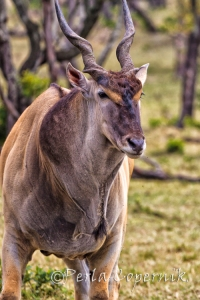 Eland, Tragelaphus (Taurotragus) Oryx, Antelope, Masai Mara, Kenya