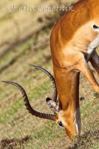 male impala, masai mara, kenya, antelope