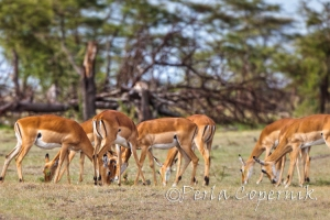 Female Impalas, Aepyceros melampus, Masai Mara, Kenya