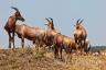 Topis, Tsessebe, Damaliscus lunatus, Antelope, Masai Mara, Kenya