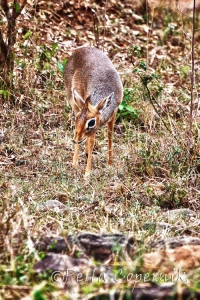 Dik-Dik, Madoqua Kirkii, miniature antelope, Masai Mara, Kenya