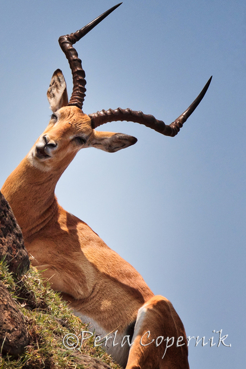Impala, Aepycerus melampus, Masai Mara, Kenya