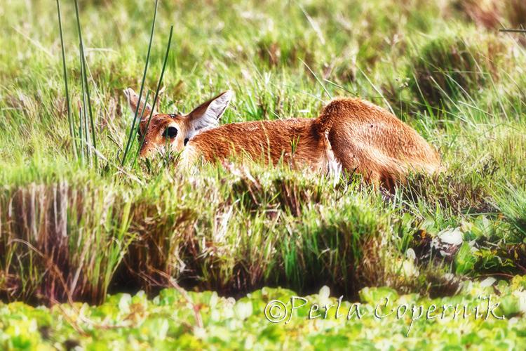 Reedbuck, Masai Mara, Antelope, Kenya