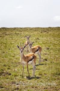 Thomson Gazelle, Gazelle thomsonii, Masai Mara, Kenya, Antelope