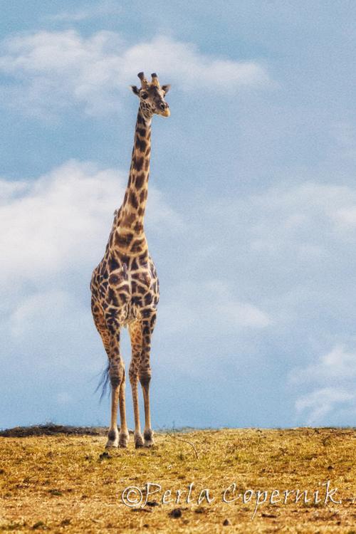 Gorgeous Male Giraffe Specimen, Masai Mara