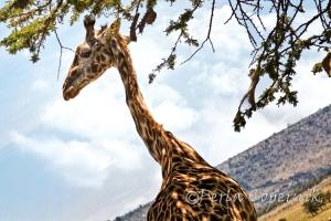 Giraffe Neck close-up in the masai mara, african savanna