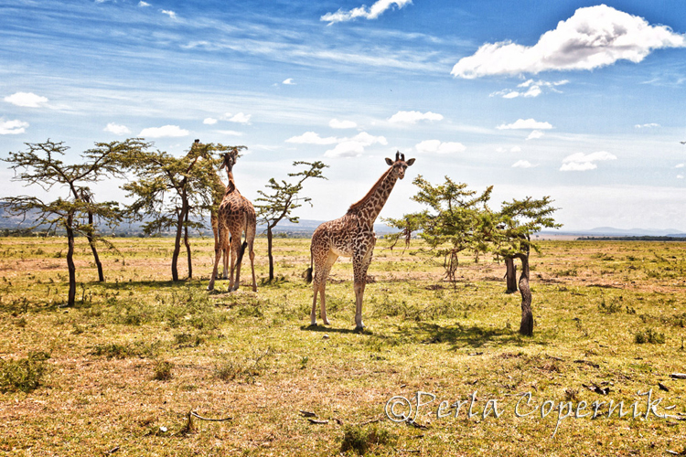 Giraffes The Gorgeous Blondes of the African Savanna (1/6)