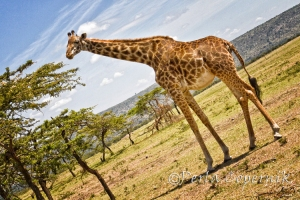 Giraffe approaching an Acacia