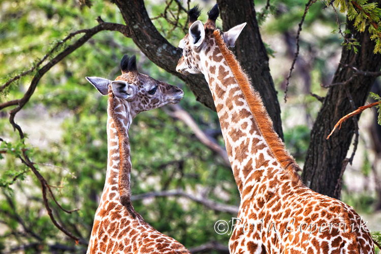 Giraffes The Gorgeous Blondes of the African Savanna (5/6)