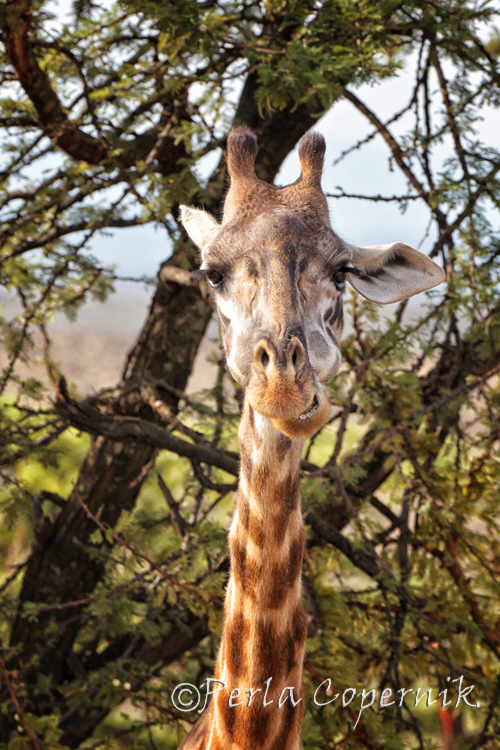 Giraffes The Gorgeous Blondes of the African Savanna (6/6)