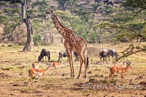 Giraffe Surrounded by Impala and wildebeest in the Masai Mara, Kenya