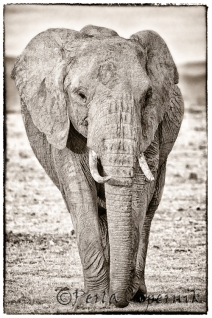 Matriarch, Female elephant, Masai Mara, Kenya