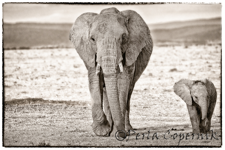 The Mighty Elephant, the Real King of the Savanna (3/6)