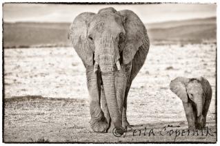 Cow, calf, elephant mom an baby