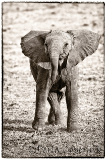 Baby Elephant, Calf, Masai Mara, Africa