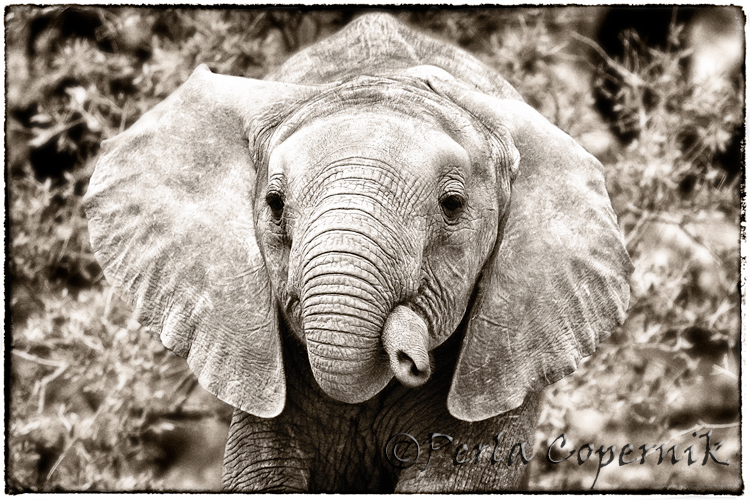 baby elephant, masai mara, kenya