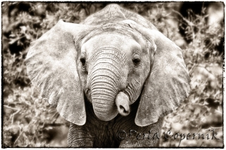 Baby elephant, tangled trunk, masai mara, Kenya