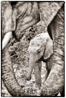Baby Elephant and Mom, Masai Mara Africa