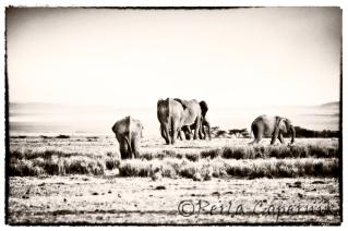 Elephants' herd, masai mara, kenya