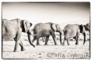 Elephant herd, masai mara, kenya