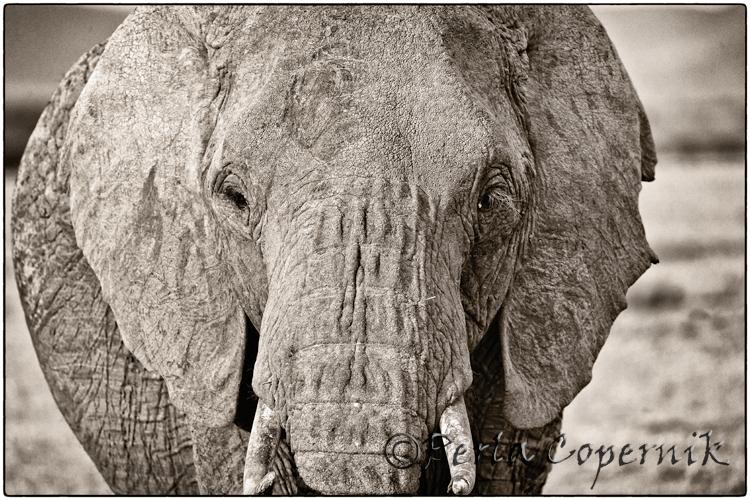Elephant Female in the Masai Mara, Kenya