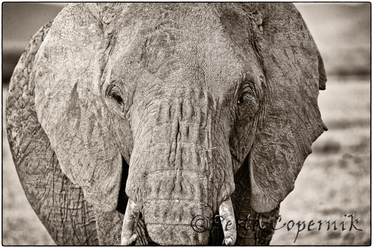 The Mighty Elephant, the Real King of the Savanna (1/6)