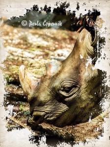 Rhino, ilegal wildlife trade