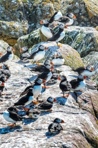 Atlantic puffin, seabirds, Newfoundland