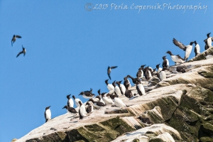 Common Murres on an Island at Bay Bulls