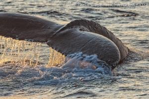 Humpback whale, sea mammal, newfoundland