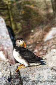 Atlantic Puffin at the Witless Bay Seabird Ecological Reserve