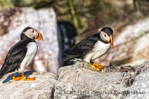 Atlantic Puffins at the the Witless Bay Seabird Ecological Reserve