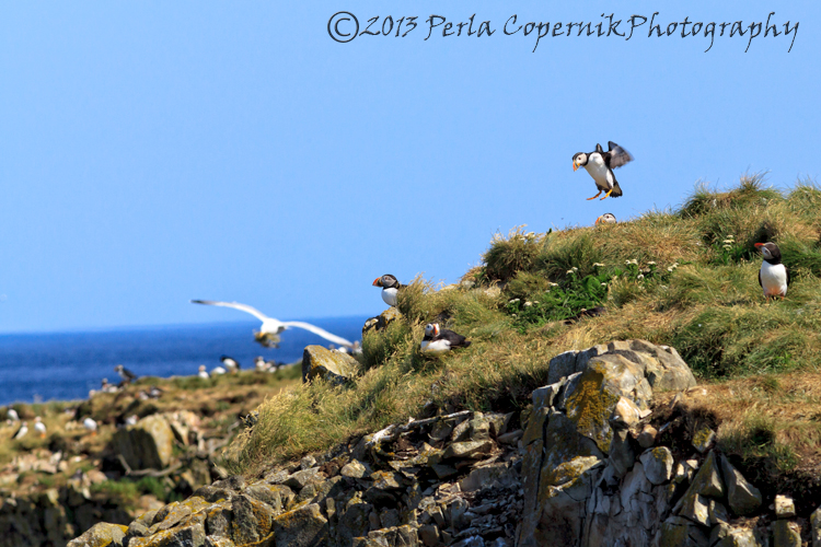 Atlantic Puffin colony at Eliston Island Newfoundland