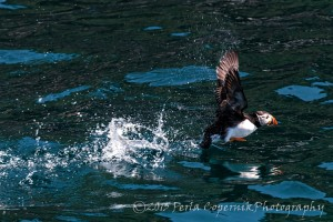 Atlantic Puffin in the Witless Bay Seabird Ecological Reserve