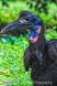Abssynian-ground Hornbill, birds, hornbills
