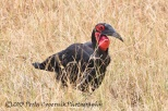 hornbill, southern-ground hornbill, Africa, bird