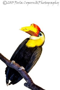 Wrinkled Hornbill, Aceros corrugatus, from Southeast Asia