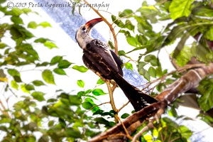 Red-billed Hornbill, Tockus erythrorhynchus, Endemic to Africa